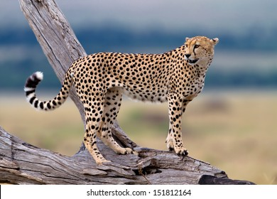 One of three Cheetah brothers on a dry branch, Mother: Honey, Masai Mara, Kenya