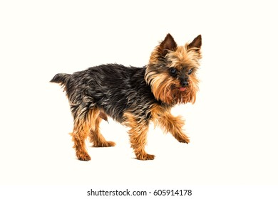 One tiny, teacup yorkshire terrier walking in studio. Isolated on white.