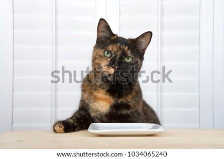Tortoiseshell Abyssinian Cat