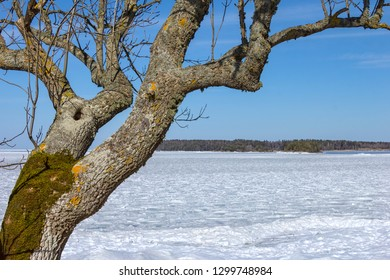 One tree is standing near the Vanern Lake, Sweden, in winter.