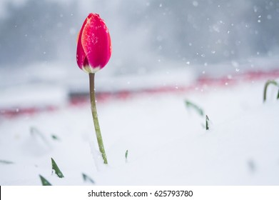 One tulip in the snow