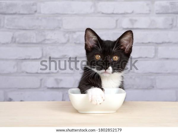 one-tuxedo-kitten-sitting-light-600w-180