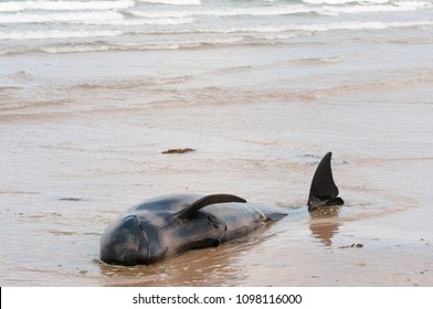 One of twelve pilot whales die after deliberately beaching. They had originally been rescued, but beached a second time.