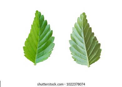 One type of leaf in white background.