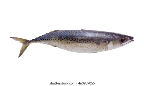 One uncooked atlantic mackerel on a light background