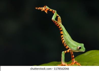 Один очень интересный момент в природе. Зеленая лягушка рядом. Лягушка прыгает на зеленый лист. Темный фон.