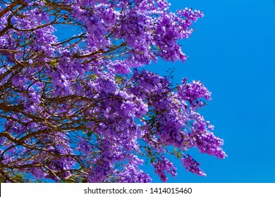 One view to flowering tree from Spain
