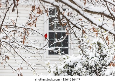 One vivid color male red northern cardinal, Cardinalis, bird sitting far distant perched on tree branch during winter snow in Virginia near house window