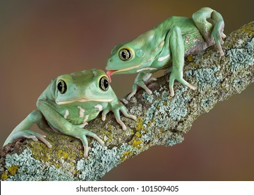 One waxy tree frog is licking another who looks surprised.