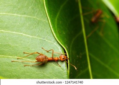 one weaver ant holding leaf edge by its mandible/building nest/ Oecophylla smaragdina