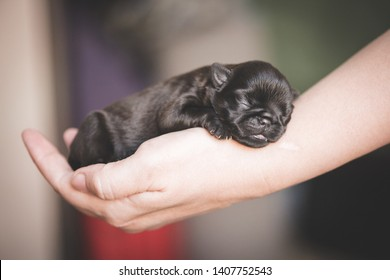 One week old brussels griffon puppy sleeps on the arm