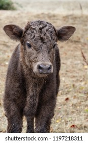 One week old Dexter/Scottish Highland cross bull calf is so curious of the world