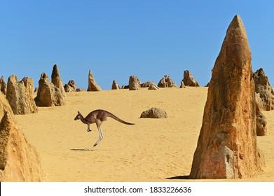 One western grey kangaroos hopping in the Pinnacles Desert near Cervantes in Western Australia.