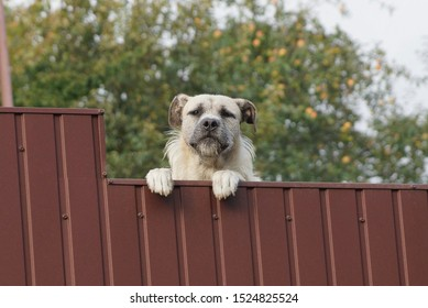 one white big dog on a brown metal fence in the street