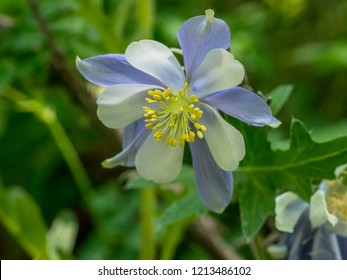 One white and blue columbine flower in Colorado mountains