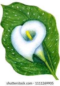 One white calla