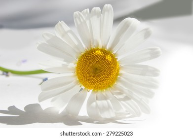 One white chamomile lying on white paper. Close up. Daisy