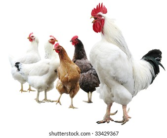 One white cock sings, isolated on white. Funny hens standing behind rooster.