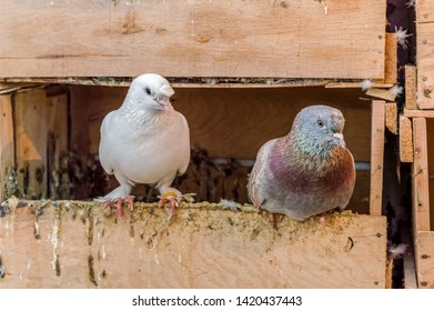 One white and one colorful gray pigeon standing on the edge of wooden nest.