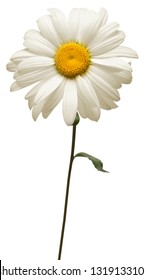 One white daisy flower isolated on white background. Flat lay, top view. Floral pattern, object
