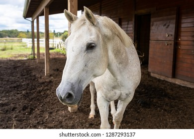 One white dapple quarter horse curiously  approaches outside by barn