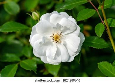 One white garden rose (Spinnaker Amorina) on shrub