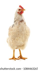 One white hen isolated on a white background.