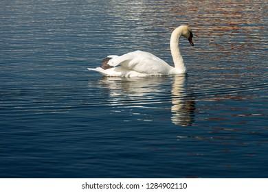 One white mute swan (Cygnus olor) swim on a blue lake