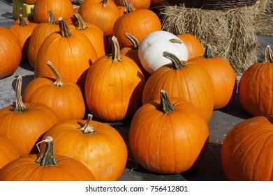 One white pumpkin, several orange ones