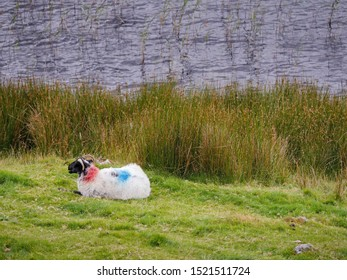 One white sheep with color herd marking on its back laying on a grass bay a river.