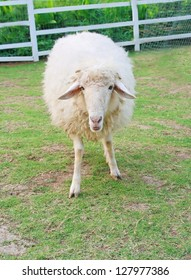 one white sheep in field, long wool hair sheep in meadow eating grass in grassland farm, landscape of grass field , cute alive eye animal background, livestock product - Shutterstock ID 127977386