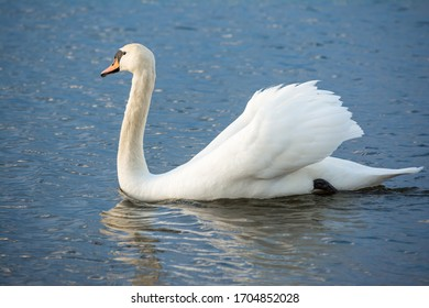 One white swan on blue water with small waves. Wildlife Abstract Background
