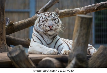 One white tigers relax outdoor