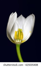 One white tulip in a intersection, presenting the stamina