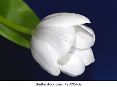 One white tulip, showing the side view, against a blue background