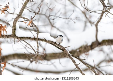 One white-breasted nuthatch bird on tree trunk during winter snowflakes snow covered oak tree in Virginia white background autumn winter or spring