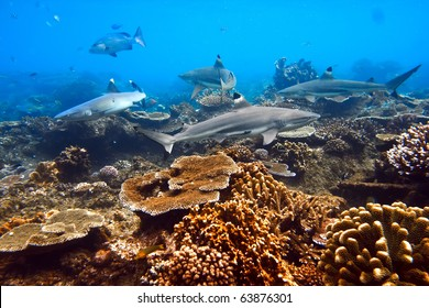 One whitetip and three blacktip sharks shouted underwater in native blue environment with coral reef