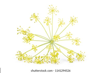 One whole fresh yellow dill flowers cluster front view isolated on white