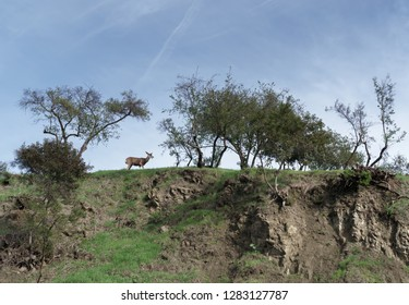 One wild deer walking on top of rocky cliff. Blue sky, wispy clouds. Room for text.