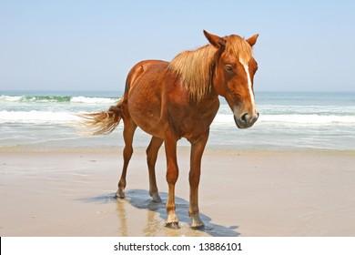 One wild horse on a beach by the ocean