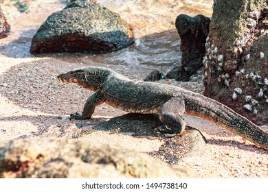 One wild monitor lizard walking on the sand at the beach of Thailand