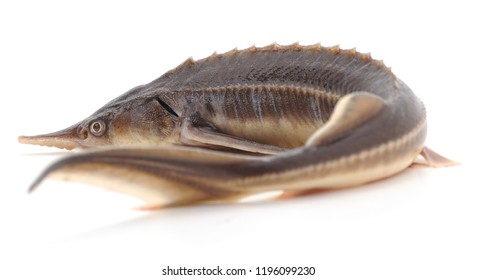 One wild sturgeon isolated on a white background.