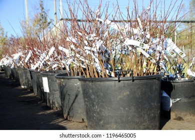 One year cultivar apple rootstock with open root system for sale in plastic pots in the autumn nursery