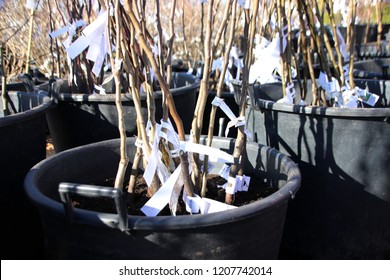 One year cultivar fruit tree labeled rootstock with open root system for sale in plastic pots in the autumn nursery