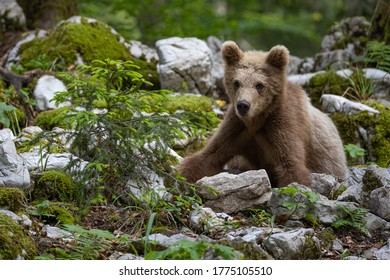 One year old bear roaming the forest