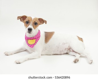 A one year old female jack russell terrier on a white background in a lying position. She is a  50-day pregnant dog.