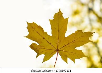 one yellow Autumnal maple leaf on sunlight background. autumn backdrop.