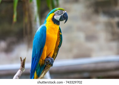 One yellow blue macaw (Ara ararauna) on a branch. A beautiful parrot in the tropical zoo of Ubud, Bali, Indonesia.