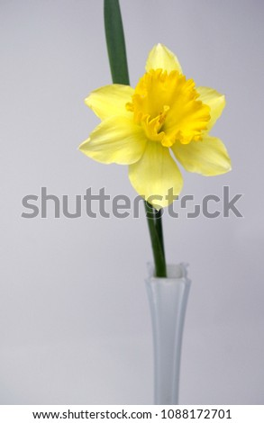 One Yellow Daffodil Vase Stock Photo Edit Now 1088172701