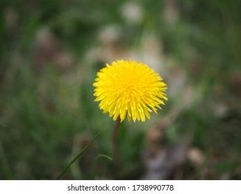 One yellow dandelion flower in the wild